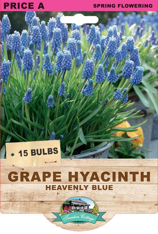 Picture of GRAPE HYACINTH - HEAVENLY BLUE