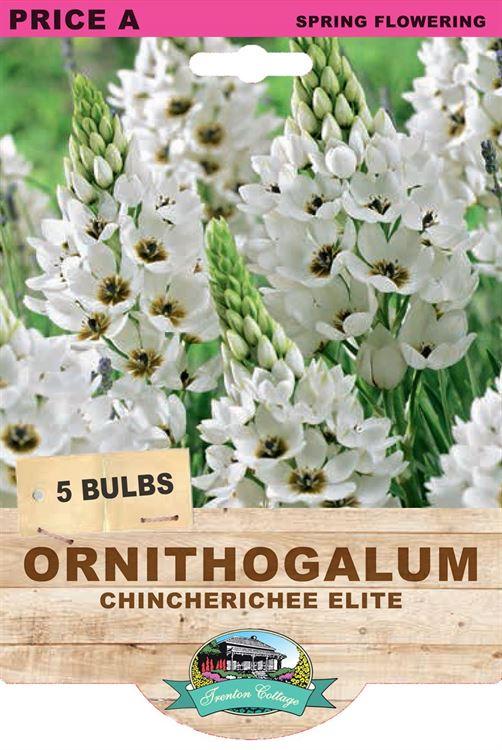 Picture of ORNITHUGALUM - CHINCHERICHEE ELITE