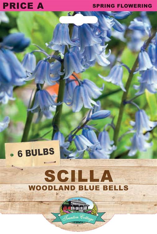 Picture of SCILLA - WOODLAND BLUE BELLS