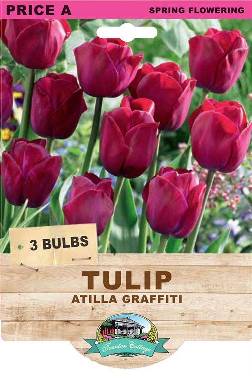 Picture of TULIP - ATILLA GRAFFITI