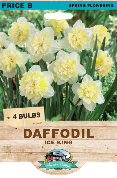 Picture of DAFFODIL - ICE KING