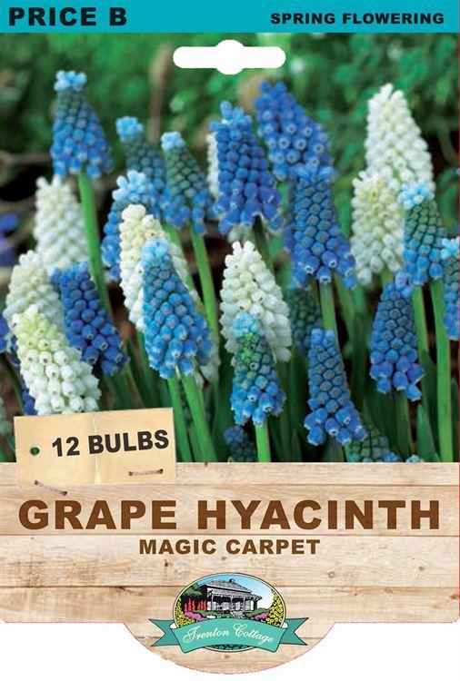 Picture of GRAPE HYACINTH - MAGIC CARPET