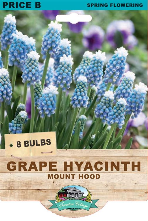 Picture of GRAPE HYACINTH - MOUNT HOOD