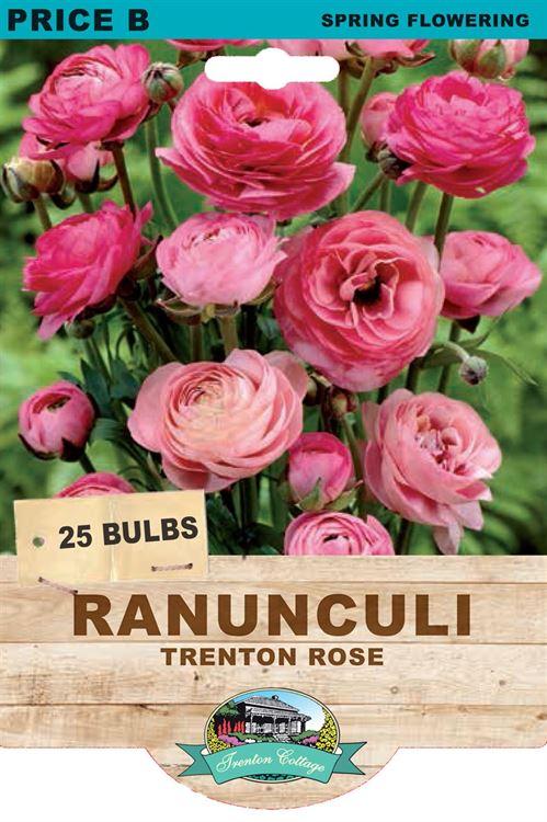 Picture of RANUNCULI - TRENTON ROSE