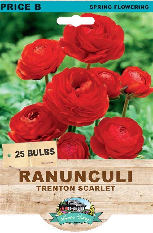 Picture of RANUNCULI - TRENTON SCARLET