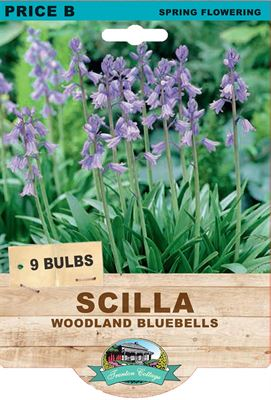 Picture of SCILLA - WOODLAND BLUEBELLS