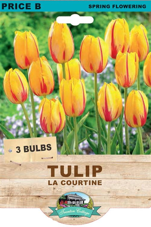 Picture of TULIP - LA COURTINE