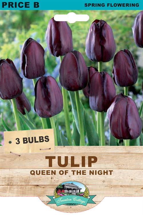 Picture of TULIP - QUEEN OF THE NIGHT