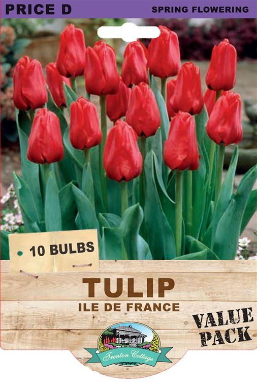 Picture of TULIP - ILE DE FRANCE