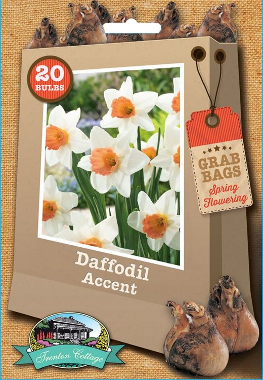 Picture of DAFFODIL - ACCENT