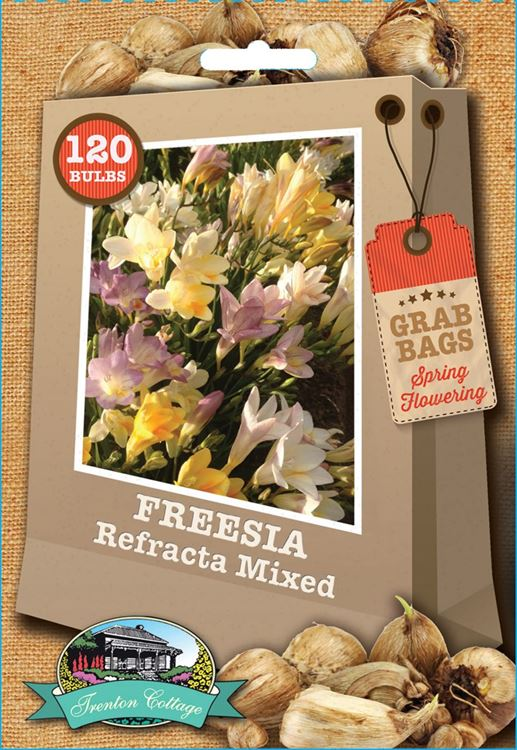 Picture of FREESIA - REFRACTA MIXED