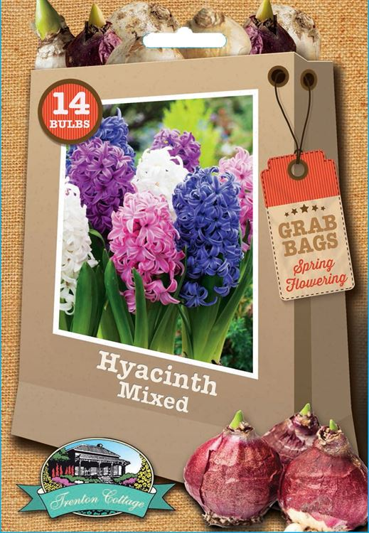 Picture of HYACINTH - MIXED