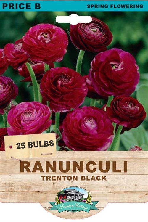 Picture of RANUNCULI - TRENTON BLACK