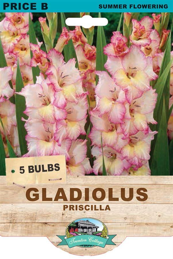 Picture of GLADIOLUS - PRISCILLA