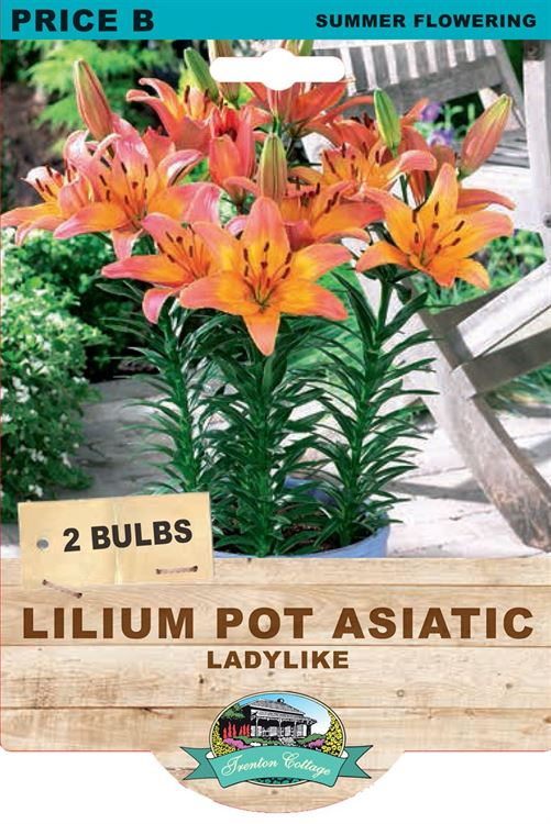 Picture of LILIUM POT ASIATIC - LADYLIKE