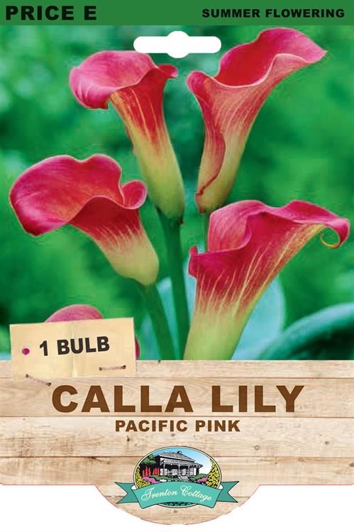Picture of CALLA LILY - PACIFIC PINK