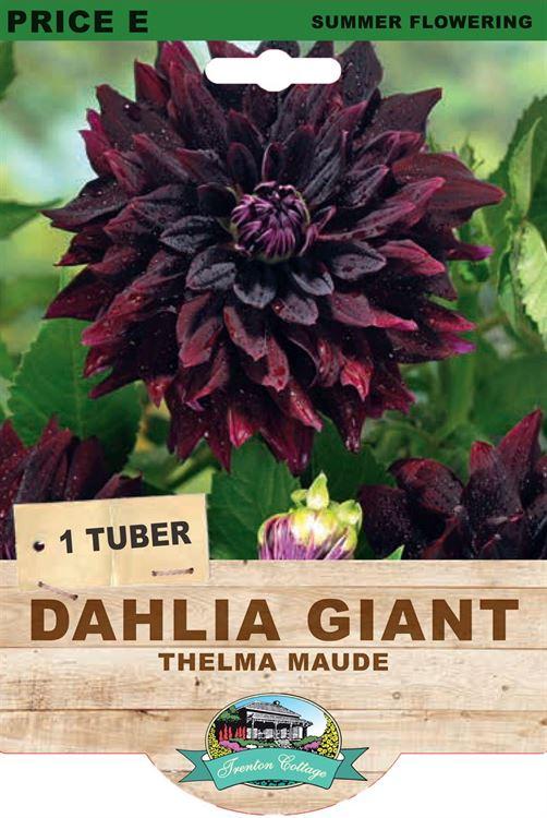 Picture of DAHLIA GIANT - THELMA MAUDE