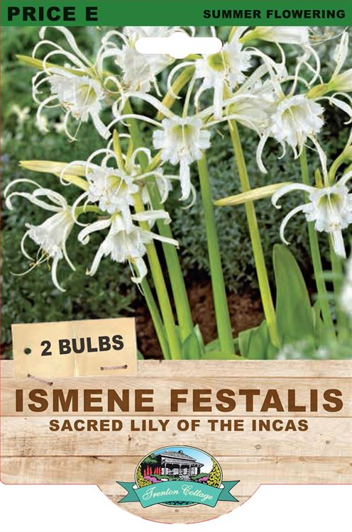 Picture of ISMENE FESTALIS - SACRED LILY OF THE INCAS