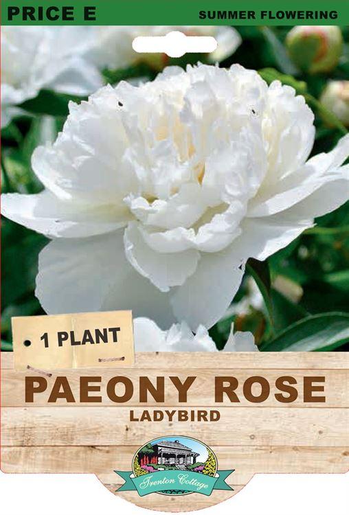 Picture of PAEONY ROSE - LADYBIRD