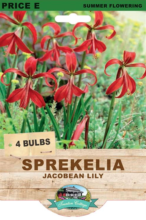 Picture of SPREKELIA - JACOBEAN LILY