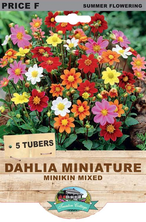 Picture of DAHLIA MINIATURE - MINIKIN MIXED