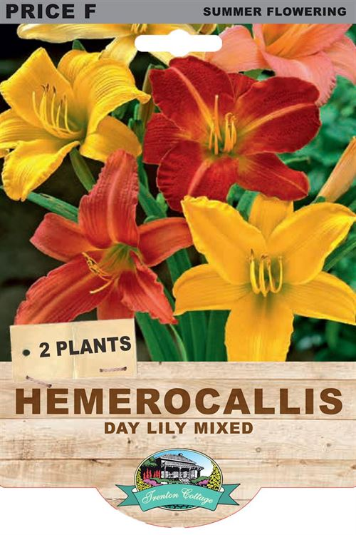 Picture of HEMEROCALLIS - DAY LILY MIXED