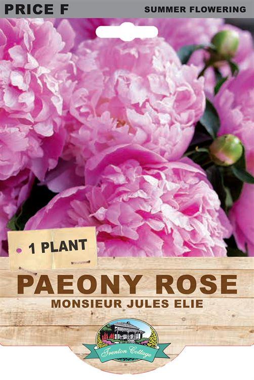Picture of PAEONY ROSE - MONSIEUR JULES ELIE