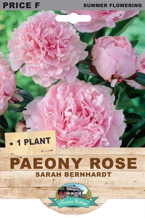 Picture of PAEONY ROSE - SARAH BERNHARDT