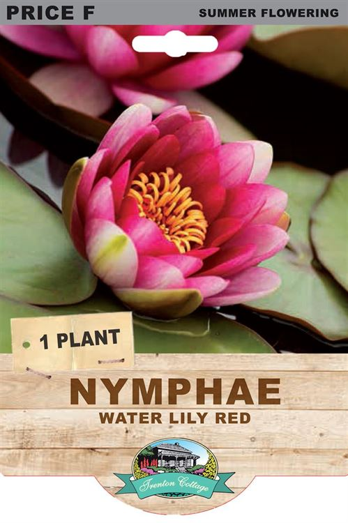 Picture of NYMPHAE - WATER LILY RED