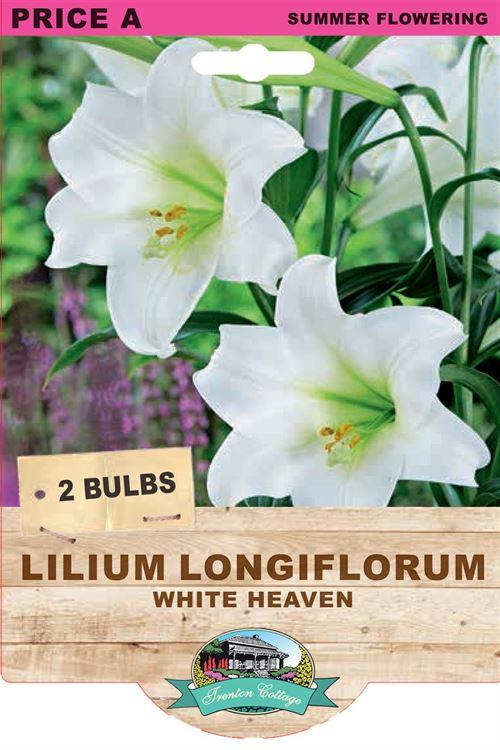 Picture of LILIUM LONGIFLORUM - WHITE HEAVEN
