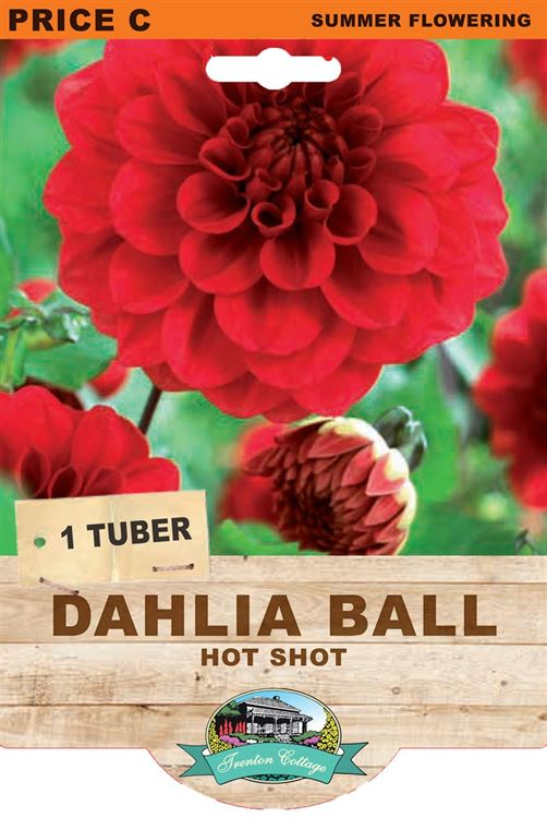 Picture of DAHLIA BALL - HOT SHOT