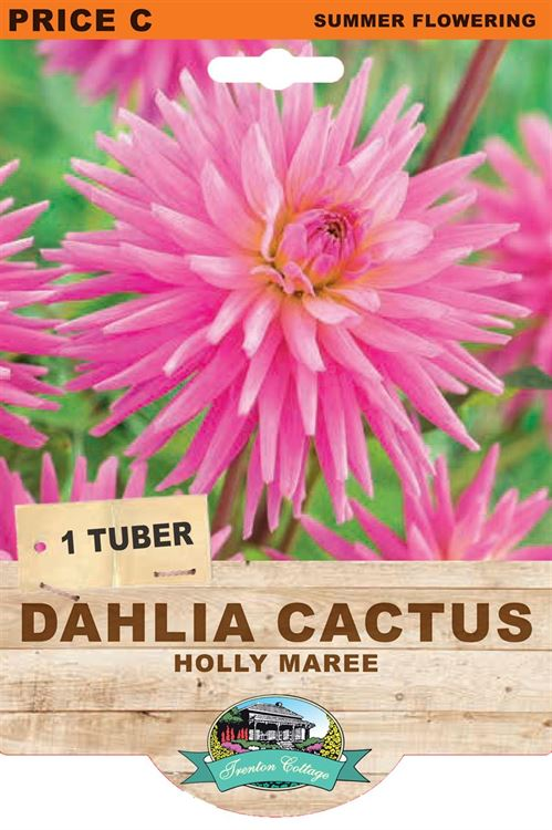 Picture of DAHLIA CACTUS - HOLLY MAREE