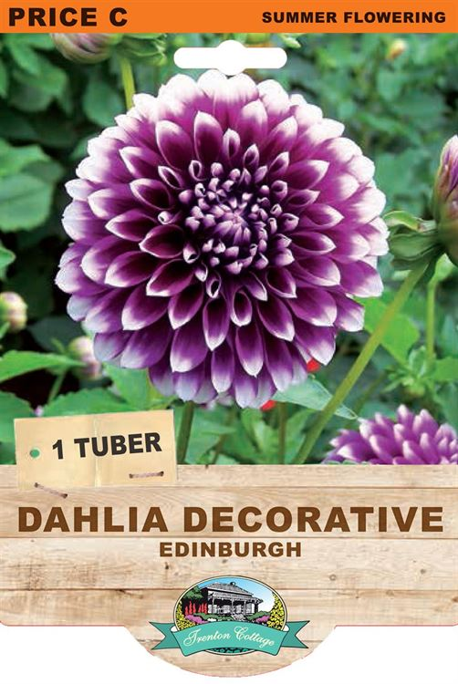 Picture of DAHLIA DECORATIVE - EDINBURGH