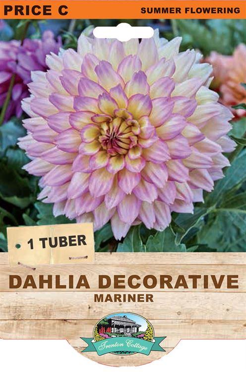 Picture of DAHLIA DECORATIVE - MARINER