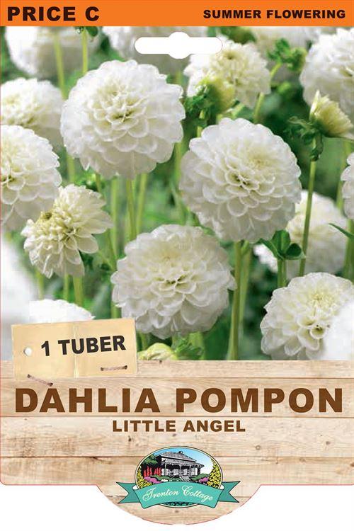Picture of DAHLIA POMPON - LITTLE ANGEL
