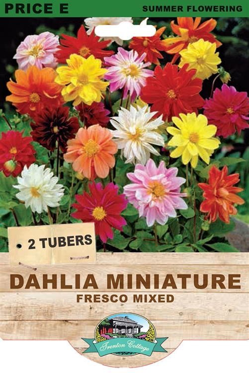 Picture of DAHLIA MINIATURE - FRESCO MIXED