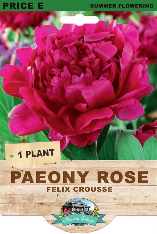 Picture of PAEONY ROSE - FELIX CROUSSE