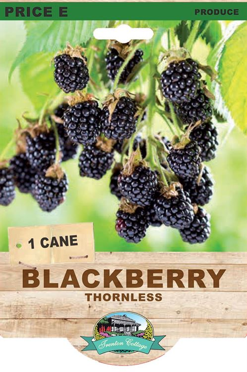 Picture of BLACKBERRY - THORNLESS